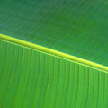 Banana Leaf by Dana Edmunds - Printscapes