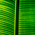 Banana Leaf I by Totto Ponce
