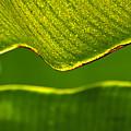 Banana Leaf Lines by Alycia Christine