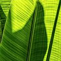 Banana Leaf Stem by Brad Allen Fine Art