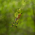 Banana Spider by Christopher L Thomley