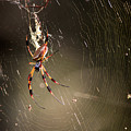 Banana Spider by Matt Suess