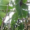 Banana Tree by Cynthia Iwen