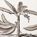 Banana Tree by Denis Diderot