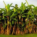 Banana Trees by David Lee Thompson