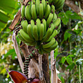 Bananas In Africa by Sonal Dave