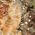 Banded Coral Shrimp by Anthony Totah