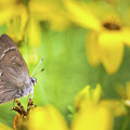 Banded Hairstreak On Coreopsis by Jeanette Fellows