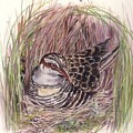 Banded Rail by Val Stokes