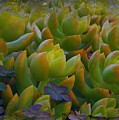 Bank Of Succulents by Jenny Revitz Soper