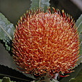 Banksia Attenuata by Tony Brown