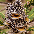 Banksia Cone by Tania Read