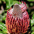 Banksia In Red by Tania Read