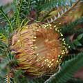 Banksia Nivea - 2 by Michaela Perryman
