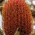 Banksia Serrata 2 by Tania Read