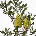 Banksia Syd02 by Werner Padarin
