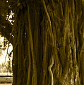 Banyan Surfer - Triptych  Part 1 Of 3 by Sean Davey