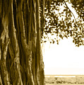 Banyan Surfer - Triptych  Part 2 Of 3 by Sean Davey