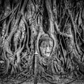 Banyan Tree by Adrian Evans