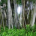 Banyan Tree by Raleigh Art Gallery