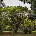 Banyon Monkeypod Landscape II by Sharin Gabl
