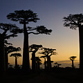Baobab Forest At Sunset by Michele Burgess