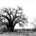 Baobab Landscape by Bruce J Robinson