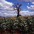 Baobaba Tree by Morris Keyonzo