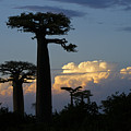 Baobabs And Storm Clouds by Michele Burgess