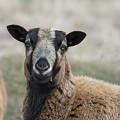 Barbados Blackbelly Sheep Portrait by Belinda Greb