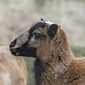 Barbados Blackbelly Sheep Profile by Belinda Greb