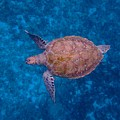 Barbados Sea Turtle by Kimberly Perry