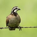 Barbed Wire Bobwhite by Steve Marler