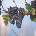 Barbera Grapes Ready For Harvest South by Michael S. Lewis