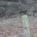 Barbwire And Whitetails by Carolyn Postelwait