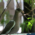 Bare Eyed Pigeon by Adriana Zoon