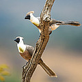 Bare-faced Go-away-birds Corythaixoides by Panoramic Images