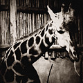 Baringo Giraffe Chicago by Kyle Hanson
