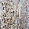 Bark, Moringa Tree by Inga Spence