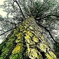 Bark Up The Tall Pine Tree Abstract In Felicina  Louisiana by Michael Hoard