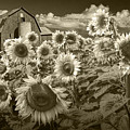 Barn And Sunflowers In Sepia Tone by Randall Nyhof