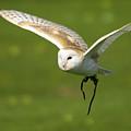 Barn Owl by Angel Ciesniarska