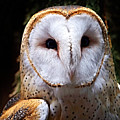 Barn Owl by Anthony Jones