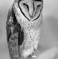 Barn Owl II by Robert Mitchell