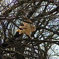 Barn Owl In A Tree by Teresa Stallings