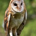 Barn Owl by Keith Boone