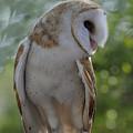 Barn Owl by Keith Lovejoy
