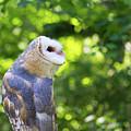Barn Owl Looking Skyward by CJ Park