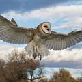 Barn Owl Makes A Happy Landing by Tony Hake