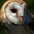 Barn Owl - Observing  by Sue Harper